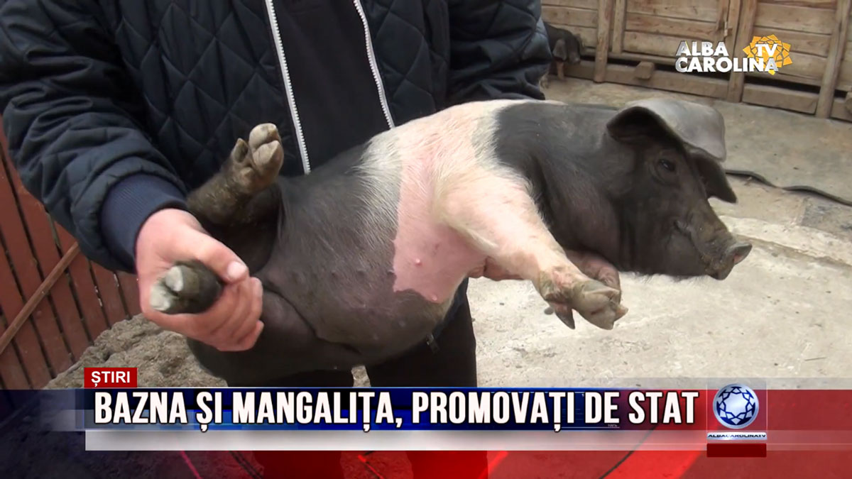 rase-porci-albacarolinatv
