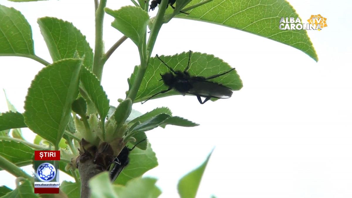 tratamente-pomi-albacarolintv