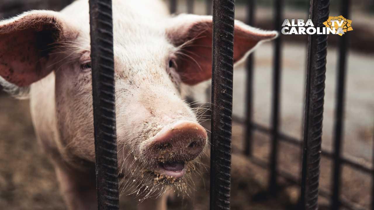 pesta porcina alba judet